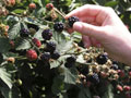 frutos-amora-preta